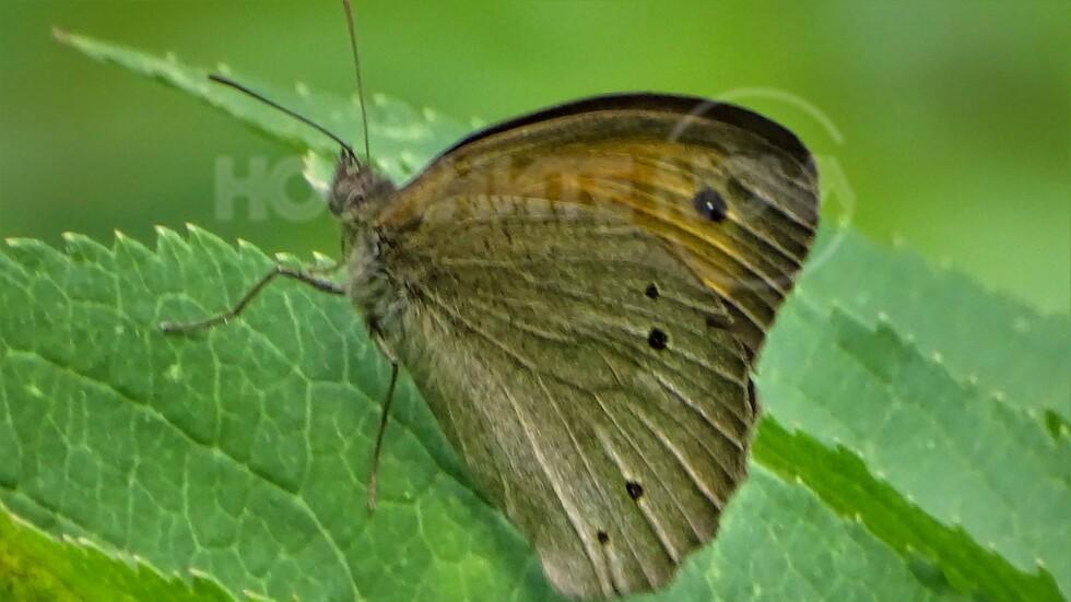 Пеперудите
