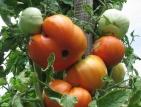 Появиха се първите български домати на пазара, но на цена 6 лева