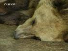 Над 40 мечки в страната живеят при лоши условия