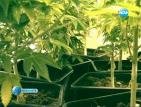 Задържаха домашен производител с модерна оранжерия за марихуана