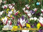 Шоуто на лалетата тази година представя 30 нови сорта