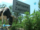 Паника в село Загориче заради случая на антракс