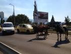 """Полиция преследва крави по булевард """"Брюксел"""""""
