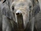Незаконният лов на слонове значително се е увеличил