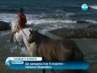 Семейство обучава породисти коне да плуват
