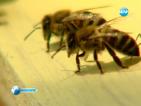 Мановият мед се смята за елексир на безсмъртието