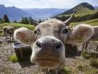 Хранят крави с бонбони заради цените на царевицата
