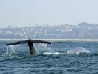 """Глобиха австралиец, """"сърфирал"""" върху кит"""