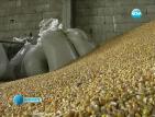 Земеделци отчитат лоша реколта, очакват поскъпване на зърното