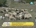 Мечки масово нападат животни в Смолянско