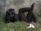 И маймуните изпадат в криза на средната възраст