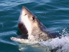 Акула умря от стрес след снимки на реклама
