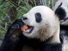 Китай лекува пандите от стреса след земетресението