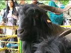 Съборът на овцевъдите показва редки български породи