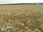 Дъждовете влошиха качеството на зърното