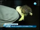 Масово натравяне на кондори в Чили