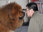 В китайски зоопарк боядисват кучета, за да приличат на лъвове