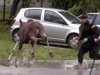 Пияни лосове нападнаха швед, спасиха го полицаи