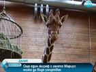 Нов зоо скандал тресе Дания, готвят евтаназия за още един жираф