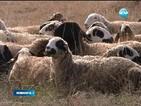 """6000 са загиналите овце от болестта """"син език"""""""