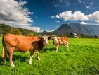 Осъдиха фермер да махне звънците на кравите си