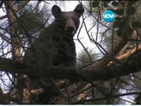 Мечка се катери по дърветата в американски град