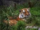 Шестима бракониери на тигри са убити от полицията