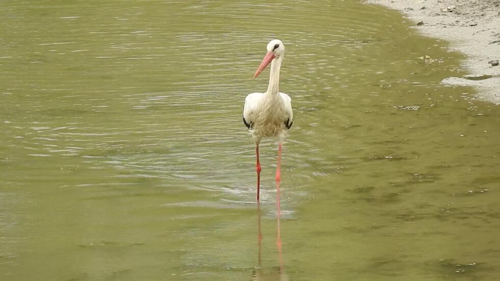 Щъркелчо на лов за рибки!