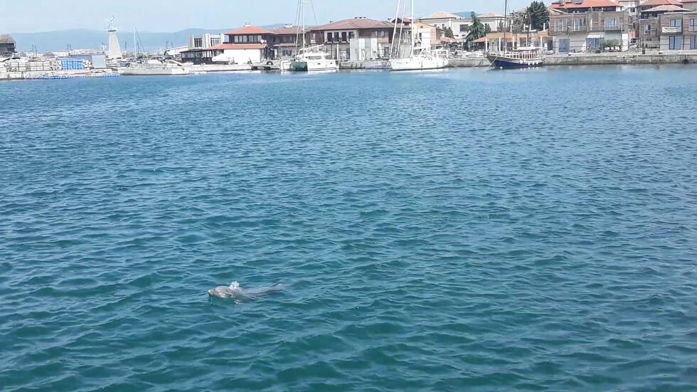 Делфини в Несебър радват туристите