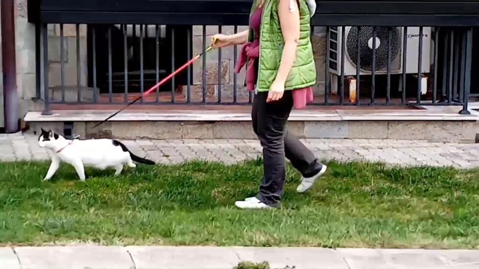 Котка на каишка, готова за разходка
