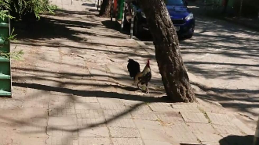 Кокошки и петли се разхождат в София