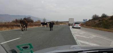 Крави на магистралата