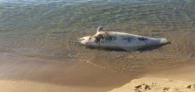 Изхвърлен делфин на плажа в Слънчев Бряг