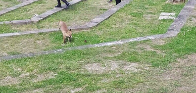 Бягство на лисица Зоопарк София