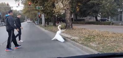 Лебед на пешеходната пътека в Пловдив