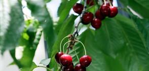 Жандармерията отново ще пази масивите с череши (ВИДЕО)