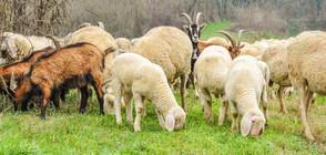 Отлагат временно евтаназията на доказано заразени с чума животни