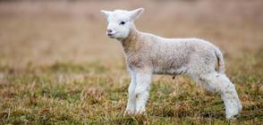 Какъв е пътят на заразата от чума по домашните животни?