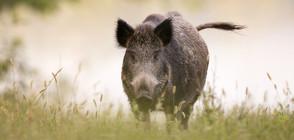 Всички диви свине и хищници в ловно стопанство край Каварна ще бъдат унищожени