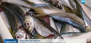 Каква риба ни сервират край морето - прясна или замразена? (ВИДЕО)