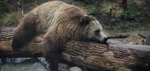 Бийдноуз спечели конкурса за най-дебела мечка (ВИДЕО+СНИМКА)