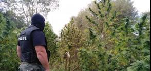 Повдигнаха 2 обвинения на инспектора от БАБХ, отглеждал канабис