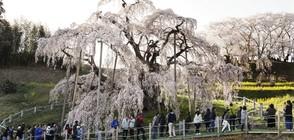 РЯДЪК ФЕНОМЕН: Вишните в Япония цъфнаха през есента (СНИМКИ)