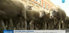 Хиляди овце блокираха най-известния булевард в Мадрид (ВИДЕО)