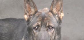 БЪЛГАРСКИЯТ КОМИСАР РЕКС: Историята на патрулно-следовото куче Нерон