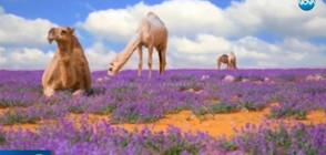 Арабската пустиня цъфна