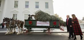 В Белия дом бе доставено коледното дърво (СНИМКИ)