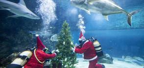 АТРАКЦИЯ: Дядо Коледа плува с акули (ВИДЕО+СНИМКИ)