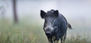 Нови четири случая на африканска чума по дивите свине в Добричко