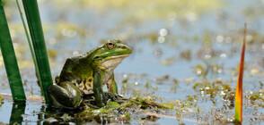 Най-самотният жабок на света най-после си намери партньорка